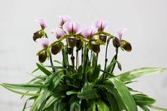 Fermez-vous vers le haut du Paphiopedilum que les orchidées fleurissent et verdissez la feuille d'orchidée avec le fond blanc Photographie stock libre de droits