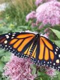 Fermez-vous vers le haut du papillon Image libre de droits