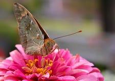 Fermez-vous vers le haut du papillon sur la fleur Photo libre de droits