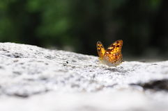Fermez-vous vers le haut du papillon (vagabond) au sol Photos stock