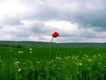 Fermez-vous vers le haut du pavot contre le ciel nuageux Photographie stock libre de droits