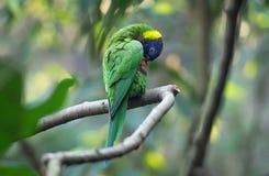 Fermez-vous vers le haut du perroquet ou du lorikeet sauvage d'arc-en-ciel de vert d'Australie, propre images stock