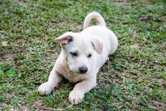 Fermez-vous vers le haut du petit chien blanc en lambeaux Photographie stock libre de droits