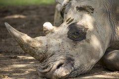 Fermez-vous vers le haut du petit groupe de la tête blanche de rhinocéros Photographie stock libre de droits