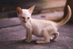 Fermez-vous vers le haut du plein corps de peu de chaton blanc maigre sale image libre de droits