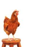 Fermez-vous vers le haut du plein corps de portrait de la poule brune d'oeufs de femelle se tenant SH Photographie stock libre de droits