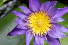 Fermez-vous vers le haut du pollen de lotus de shotf Images libres de droits