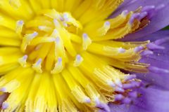 Fermez-vous vers le haut du pollen de lotus de tir Image libre de droits