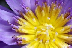 Fermez-vous vers le haut du pollen de lotus de tir Photographie stock