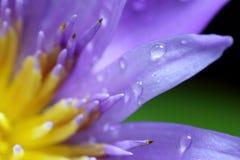 Fermez-vous vers le haut du pollen de lotus de tir Image stock