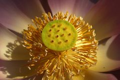 Fermez-vous vers le haut du pollen du lotus Photo libre de droits