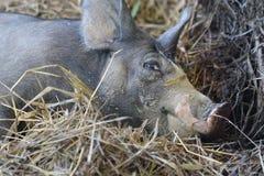 Fermez-vous vers le haut du porc noir dans la ferme Photos stock