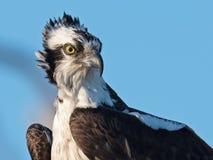 Fermez-vous vers le haut du portrait du balbuzard Photo stock