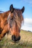 Fermez-vous vers le haut du portrait du beau pottok Basque de cheval en montagnes de campagne dans le pays Basque, France Images stock