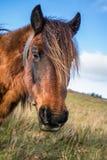 Fermez-vous vers le haut du portrait du beau pottok Basque de cheval en montagnes de campagne dans le pays Basque, France Photographie stock libre de droits