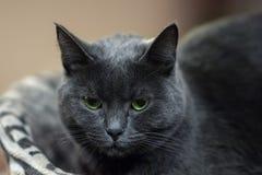 Fermez-vous vers le haut du portrait du chat britannique de shorthair Brouillez le fond, à l'intérieur, regard dur et grave impre photo libre de droits