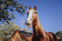 Fermez-vous vers le haut du portrait du cheval brun mignon mangeant l'herbe avec le ciel bleu à l'arrière-plan Photographie stock libre de droits