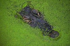 Fermez-vous vers le haut du portrait du crocodile en lenticule verte image stock