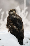 Fermez-vous vers le haut du portrait d'Eagle chauve non mûr Photos libres de droits