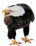 Fermez-vous vers le haut du portrait d'un aigle chauve avec un bec ouvert. Images stock