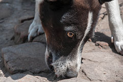 Fermez-vous vers le haut du portrait d'un chien sur les pierres images libres de droits