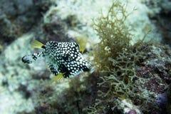 Fermez-vous vers le haut du portrait d'un poisson lisse de tronc dans le corail Photographie stock libre de droits