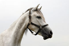 Fermez-vous vers le haut du portrait d'une tête du ` s de cheval colorée par gris de race Photographie stock libre de droits