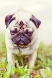 Fermez-vous vers le haut du portrait de chien de roquet Photo stock