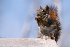 Fermez-vous vers le haut du portrait de l'écureuil Photos libres de droits