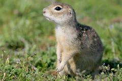 Fermez-vous vers le haut du portrait de l'écureuil moulu images libres de droits