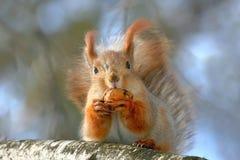 Fermez-vous vers le haut du portrait de l'écureuil rouge avec un wallnut sur l'arbre Images libres de droits