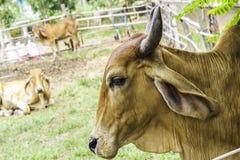 Fermez-vous vers le haut du portrait de l'enfant rouge blanc et brun de vache et animal de veau à l'arrière-plan vert vaches se t Photos libres de droits