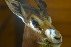 Fermez-vous vers le haut du portrait de l'impala ou de l'antilope dans la faible luminosité image libre de droits