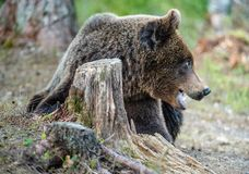 Fermez-vous vers le haut du portrait de l'ours de Brown Image stock