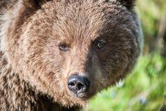 Fermez-vous vers le haut du portrait de l'ours de Brown sauvage Photo stock