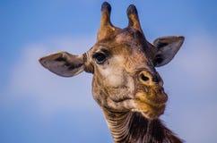 Fermez-vous vers le haut du portrait de la girafe images libres de droits