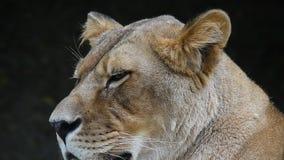 Fermez-vous vers le haut du portrait de la lionne africaine, femelle de lion banque de vidéos