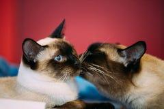 Fermez-vous vers le haut du portrait de la queue écourtée Cat Kitten At Red Background du Mékong Images stock