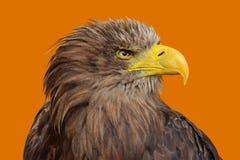 Fermez-vous vers le haut du portrait de profil de l'aigle coupé la queue par blanc Photo stock