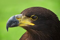 Fermez-vous vers le haut du portrait de profil de l'aigle d'or sur le vert Photo stock