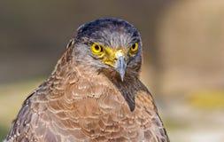 Fermez-vous vers le haut du portrait des chrysaetos captifs d'Eagle d'or Aquila Photographie stock