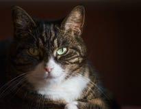 Fermez-vous vers le haut du portrait du chat domestique sur le fond foncé Photos libres de droits