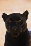 Fermez-vous vers le haut du portrait du jaguar noir ; Onca de Panthera Image stock
