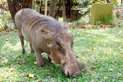 Fermez-vous vers le haut du portrait du mâle de porc de verrue dans le terrain de camping Photo stock