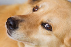 Fermez-vous vers le haut du portrait du type visage de colley du ` s de chien Images libres de droits
