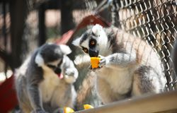 Fermez-vous vers le haut du portrait du lémur hérissé noir et blanc mangeant du fruit frais, primats nocturnes de strepsirrhine photo stock