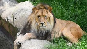 Fermez-vous vers le haut du portrait du lion masculin clips vidéos