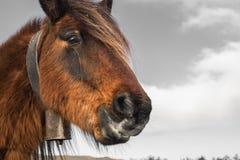 Fermez-vous vers le haut du portrait du pottok Basque mignon de cheval en montagnes de campagne dans le pays Basque dans la coule Image stock
