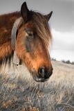 Fermez-vous vers le haut du portrait du pottok Basque mignon de cheval en montagnes de campagne dans le pays Basque dans la coule Image libre de droits