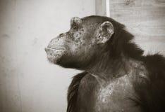 Fermez-vous vers le haut du portrait du sentiment commun de chimpanzé triste et pensant à la vie en noir et blanc Photographie stock